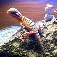 Drogans dragons